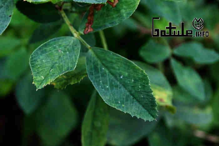 alfalfa beneficios y propiedades