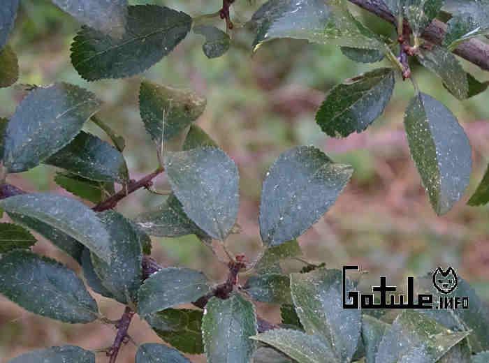 hojas árbol endrino o abruño