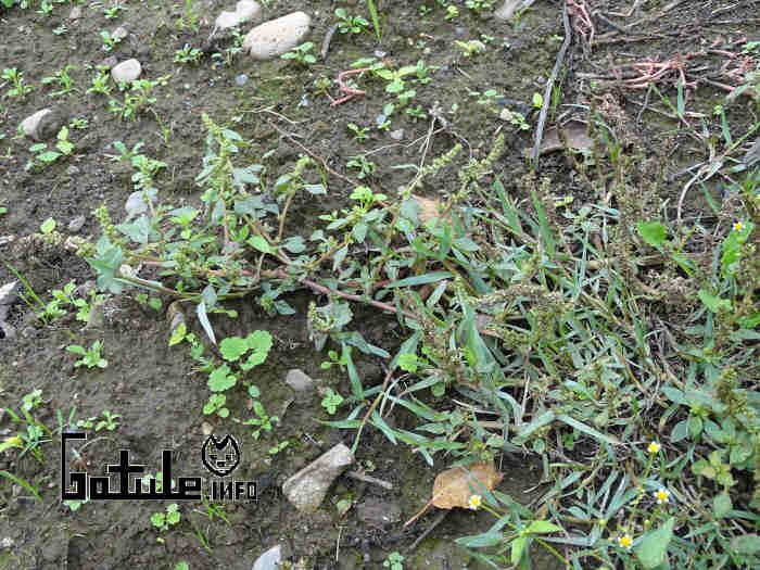 Verdolaga planta rastrera
