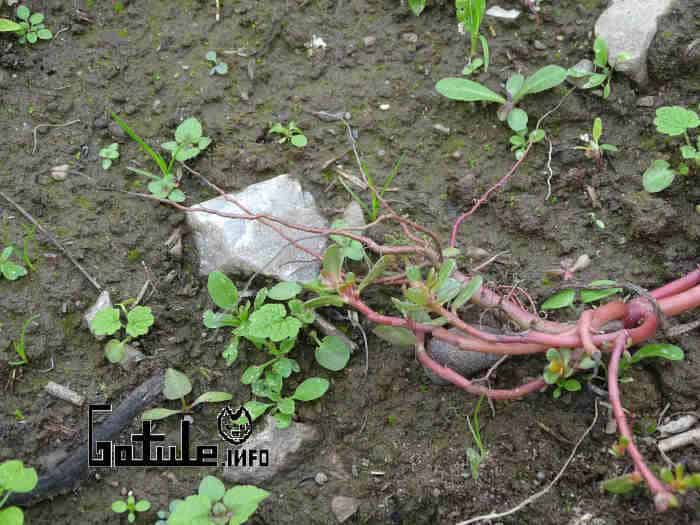 propiedades planta verdolaga