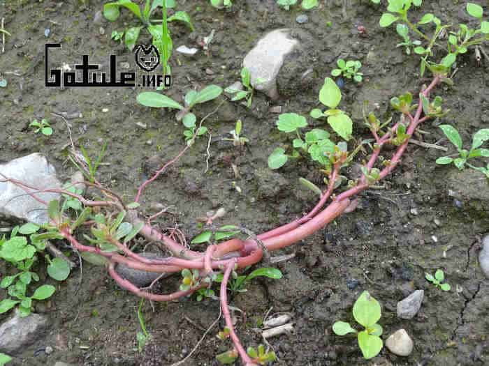 portulaca oleracea propiedades
