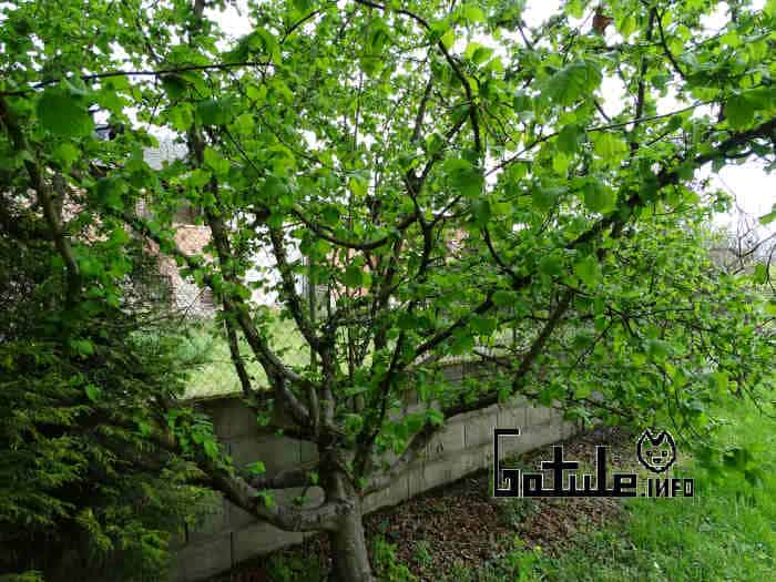 propiedades árbol avellano