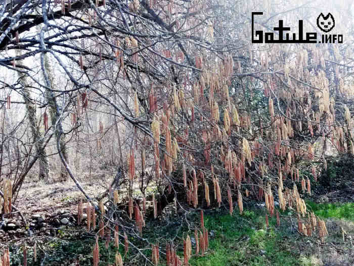 flores Corylus avellana