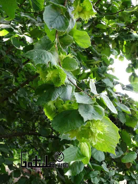 usos Corylus avellana