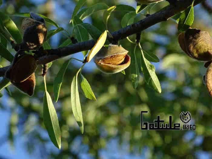 almendro propiedades árbol