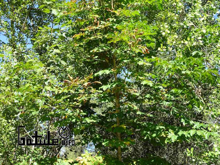 Árbol castaño pilongo