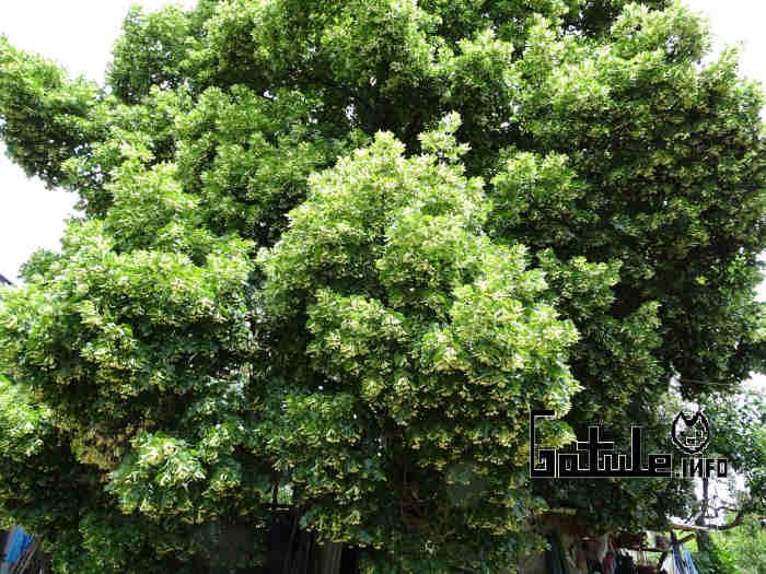 árbol tilo