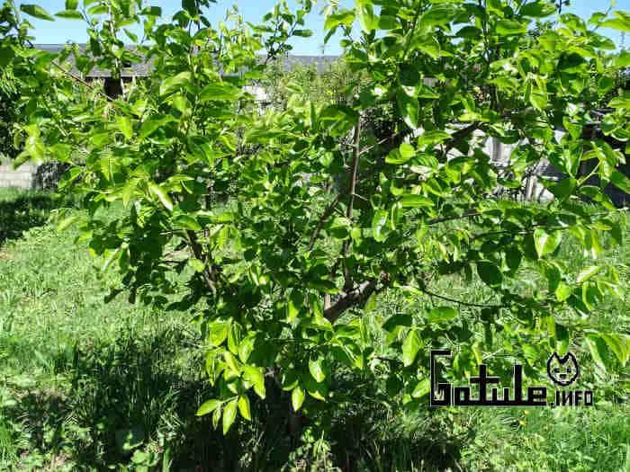 hojas árbol caqui