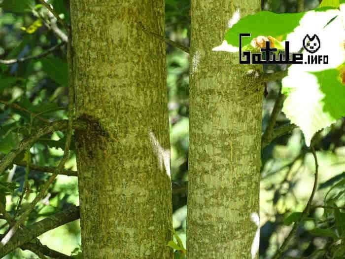 corteza aesculus hippocastanum