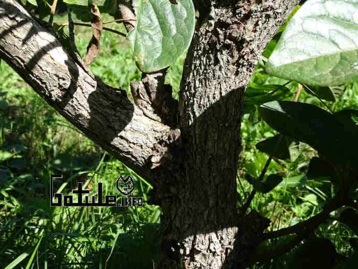 corteza árbol caqui