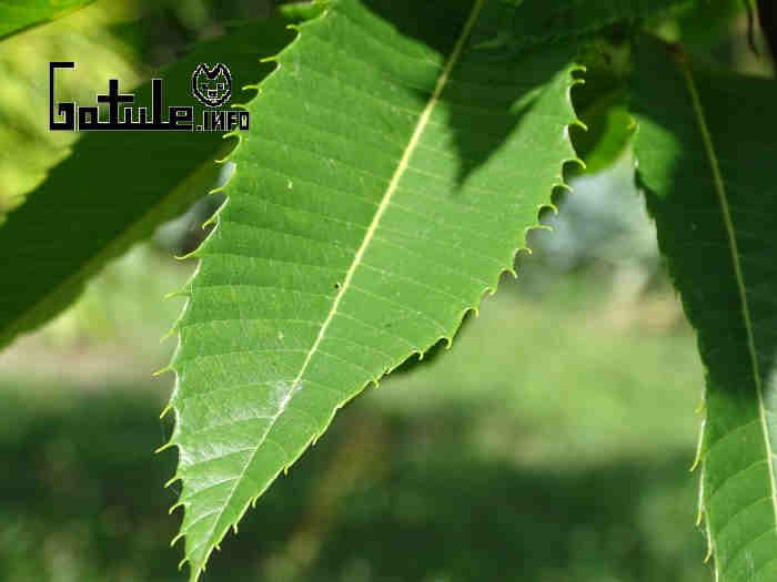 hojas castaño