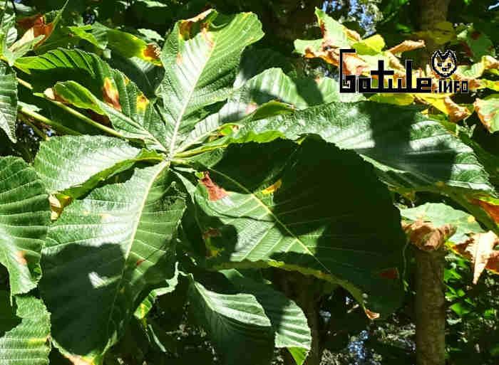 hojas castaño de indias