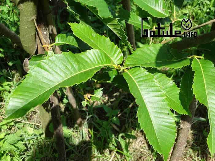 propiedades hojas castaño