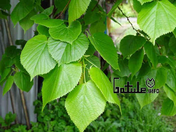 usos hojas tilia platyphyllos