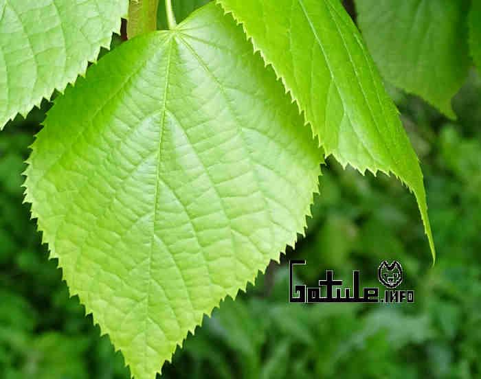 propiedades hojas tilo