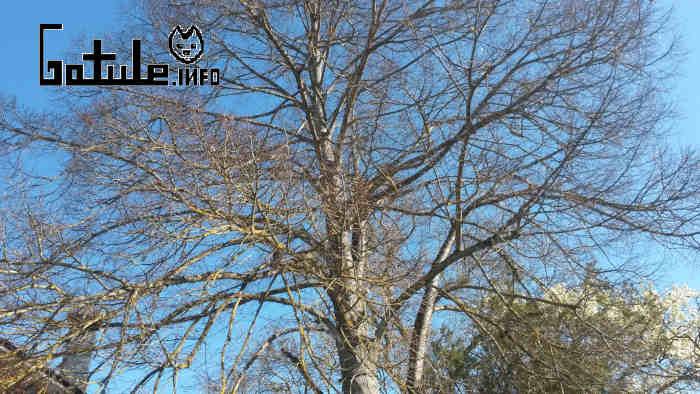 Tilia platyphyllos en invierno