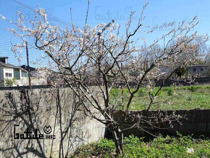 arbusto cornijuelo