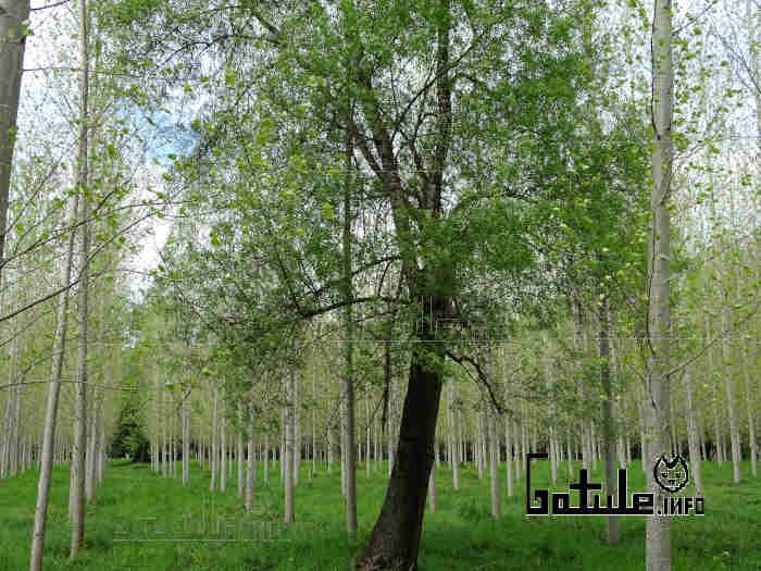 fresno árbol