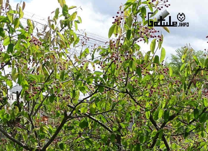 árbol guillomo o amelanchier ovalis