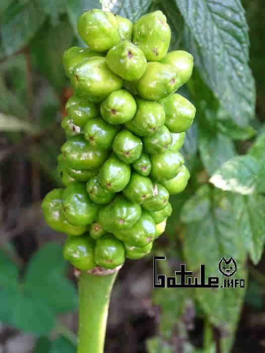 propiedades frutos  arum maculatum
