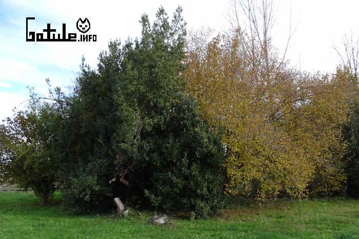 avellano propiedades del árbol