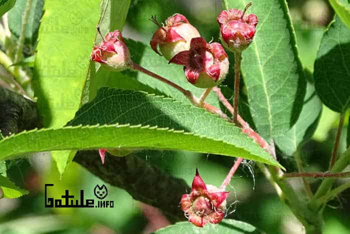 hojas frutos amelanchier ovalis