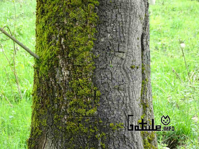 corteza árbol fresno