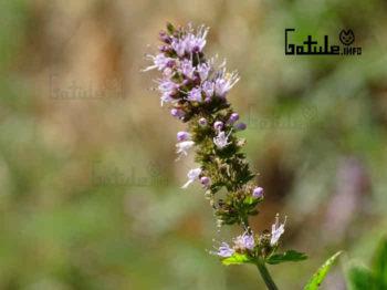 flor menta piperita propiedades