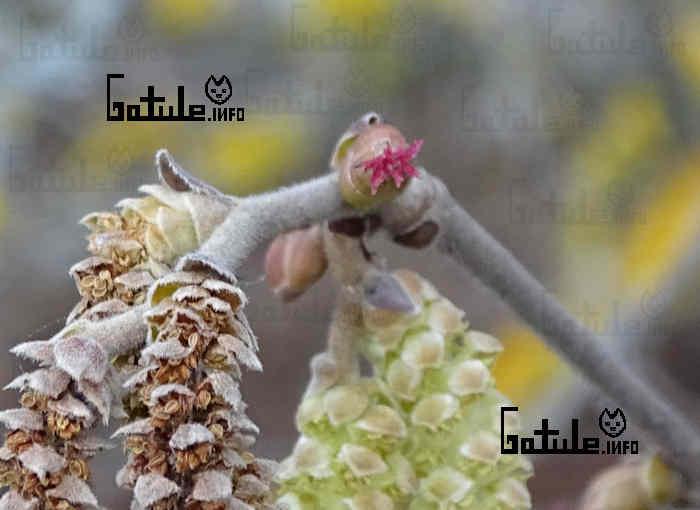 flor femenina avellano