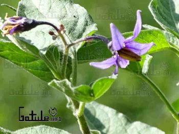 flor dulcamara