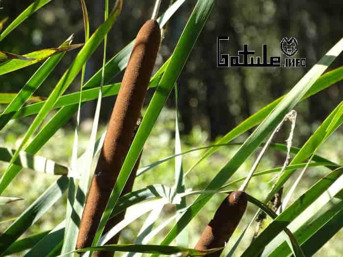 propiedades planta espadaña