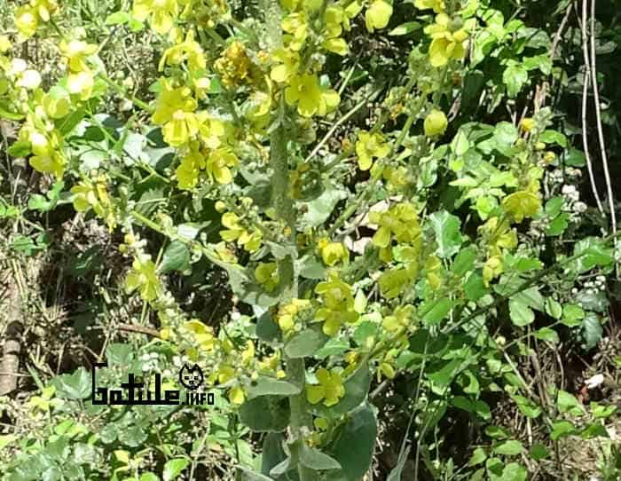 flores verbascum thapsus