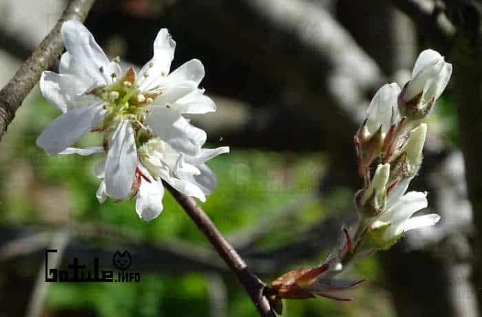 flores amelanchier ovalis