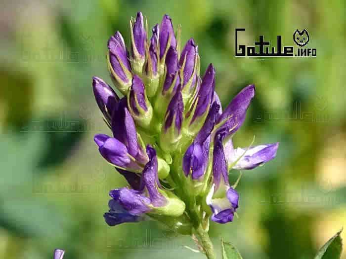 medicago sativa flor
