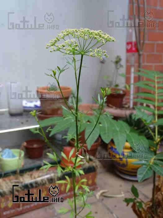 petroselinum crispum flores