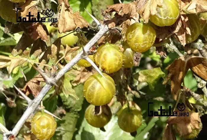 propiedades uva san juan