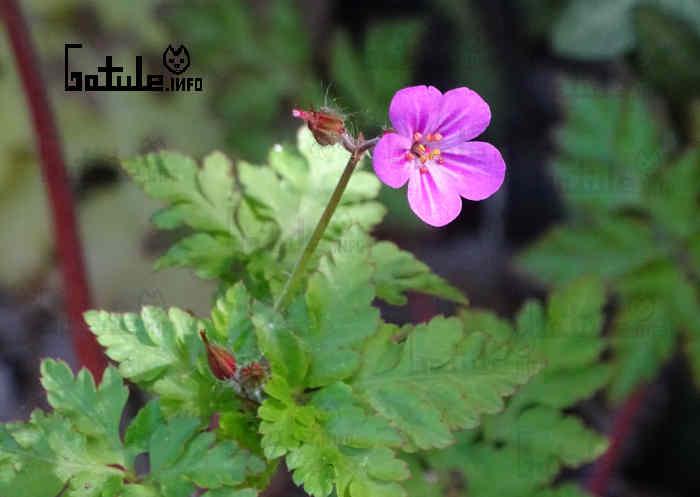 propiedades geranium robertianum