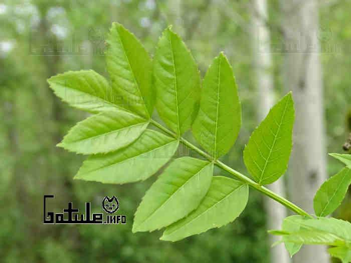 hoja fresno árbol