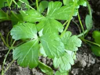 petroselinum crispum hojas