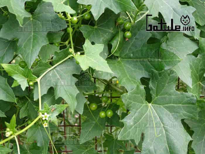 bryonia dioica hojas