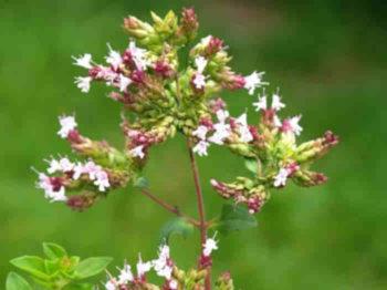 propiedades flores orégano