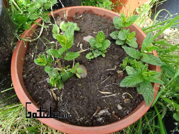 cultivo plantas menta