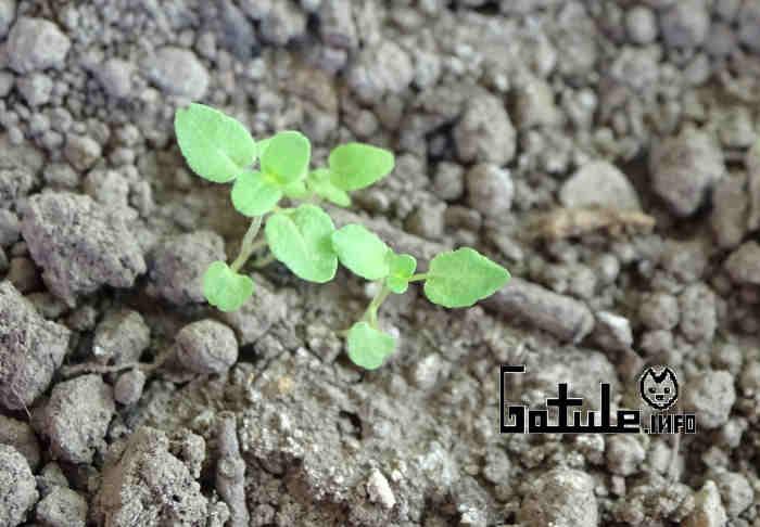 plántulas origanum