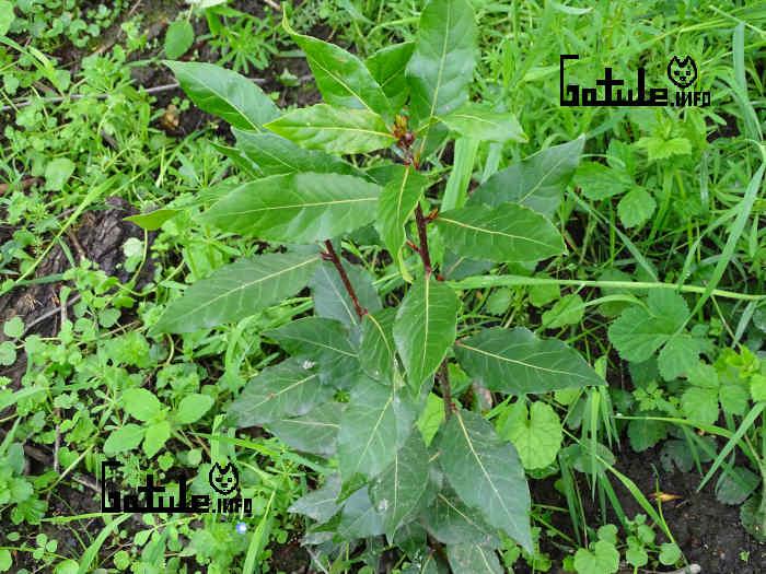 pequeño laurus nobilis