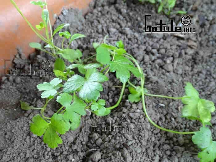plantar perejil