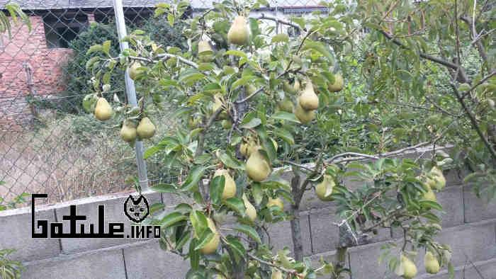 árbol peras limoneras