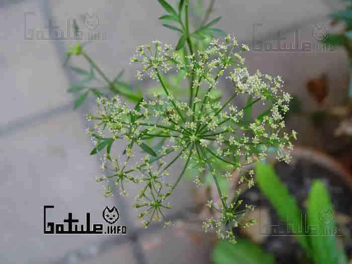 sembrar petroselinum crispum