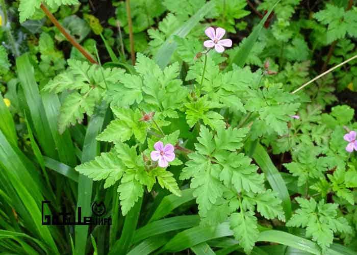 planta geranio robertiano