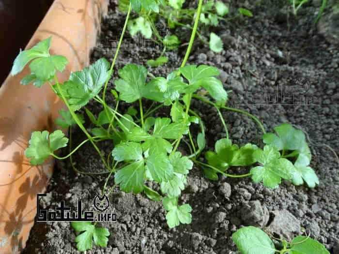 petroselinum crispum planta