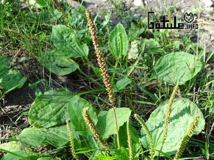 plantago albicans